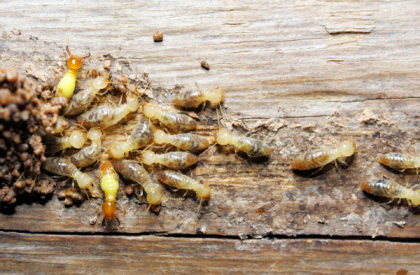 termites, termite inspection, termite treatment, termite droppings